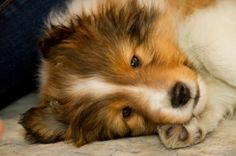 America's Next Top Model! Baby Animals, Cute Animals, Paws And Claws, Shetland Sheepdog, Sheep Dogs, Doggies, Sheltie, Mans Best Friend, Collie