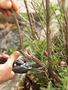 A good starting point for pruning any plant is to remove dead, diseased, or damaged stems as soon as you see them. Dead stems attract insects and invite diseases to develop. Also remove crossing branches, water sprouts (vigorous upright growing shoots tha
