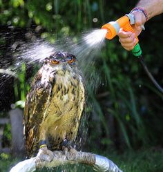 A good way to attract owls to your yard is with water... but maybe not this much.