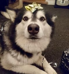 Moon Moon Can Has a Present? - World's largest collection of cat memes and other animals Siberian Husky Puppies, Husky Puppy, Siberian Huskies, Giant Alaskan Malamute, Cute Puppies, Cute Dogs, Baby Animals, Cute Animals, Dog Lovers