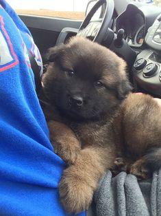 Afbeeldingsresultaat voor A German Shepherd-Akita-Corgi mix Chubby Puppies, Cute Puppies, Dogs And Puppies, Baby Animals, Cute Animals, Newfoundland Puppies, Border Collie Mix, German Shepherd Puppies, German Shepherds