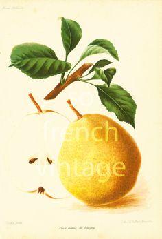 1911 Poire Bonne de Beugny, Variété ancienne Fruits, chromolithographie, Revue…