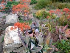 Photos of South African Plants - Category: Aloe - Image: Aloe striata Aloe, African Plants, Orchids, Cactus And Succulents, Succulents, Plants