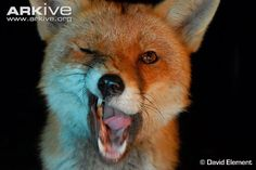Red fox photo - Vulpes vulpes - image-A23565