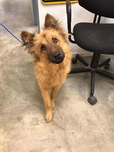 ●1•3•17 SL●-HOUSTON AREA FOSTER NEEDED FOR 3 WKS TO SAVE HIS LIFE!! TEMP FOSTER FOR 20 lb DOG NEEDED ONLY UNTIL JANUARY 22nd. We want to get this one out of the shelter. Only 20 lbs and heartworm negative. Need a foster! Please message me if you can help or email Houstonk911rescue@gmail.com Give about 3 weeks of your time and let's save this life!