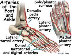 Ankle Anatomy, Foot Anatomy, Anatomy Bones, Anatomy Drawing, Blood Vessels Anatomy, Arteries Anatomy, Interventional Radiology, Ankle Surgery, Anatomy Tutorial