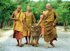Monks take a tiger out of its cage for an afternoon walk June 5, 2001 at the Wat Pa Luangta Bua monastery in Kanchanaburi, Thailand. Eight tigers have been raised by the resident monks at the monastery since they were cubs. (Photo by Paula Bronstein/Getty Images)