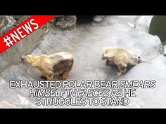 Please sign to SAVE THE POLAR BEAR FROM BELGRADE ZOO: https://www.change.org/p/belgrade-zoo-save-the-polar-bear-from-belgrade-zoo