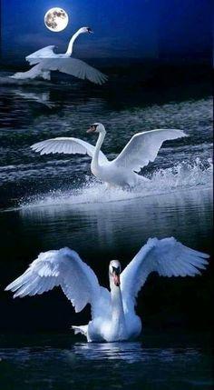 Swan's in moonlight. Beautiful Swan, Beautiful Birds, Animals Beautiful, Beautiful Nature Pictures, Beautiful Nature Wallpaper, Swan Pictures, Swan Painting, Image Nature, Colorful Birds