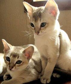 Image result for singapura kittens
