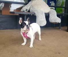 Apollo bay Victoria Australia   #dogsofinstagram #dogstagram #apollobay #frenchbulldog #frenchie #perrito #perrosdeinstagram #반려견 #멍스타그램 #인스타독 #호주 #프렌치불독 #instadog #frenchbulldogsofinstagram by perritosdelmundo http://ift.tt/1LQi8GE