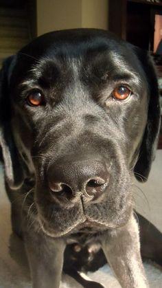 """""""Hug me!"""" #dogs #pets #LabradorRetrievers Facebook.com/sodoggonefunny"""