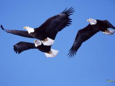 All types of eagle birds in the world with amazing facts. Bald eagles are symbol of American. They are at the top of the food chain, with some species feeding on big prey like monkeys and sloths. Animal Wallpaper, Hd Wallpaper, Types Of Eagles, Eagle Watch, Eagle Images, Eagle Pictures, American Songs, Enchanted Island, Eagle Wings