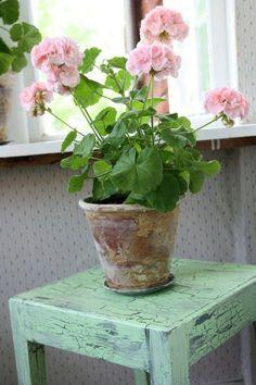 cultivo-del-geranio-como-planta-de-interior-03
