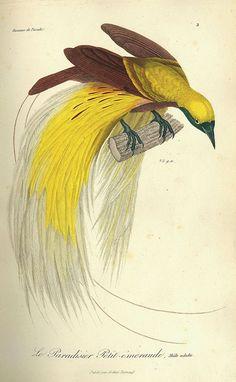 René Primevère Lesson,Histoire naturelle des oiseaux de paradis...