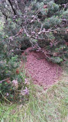 Stor og flot myretue fra toer skoven
