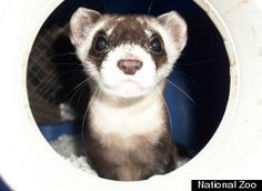 Blackfooted Ferret - National Zoo Ferrets At Virginia Conservation Center On National Ferret Day (WATCH)
