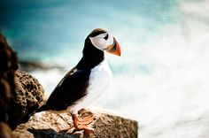 50mm puffin, via Flickr.