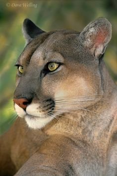 This is Kiowa, a mountain lion (felis concolor) that came to the Wildlife Waystation (www.wildlifewaystation.org) - via Dave Welling's photo on Google+
