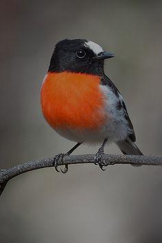 Scarlet Robin Male by birdsaspoetry, via Flickr