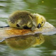Sleeping little ducky - your daily dose of funny cats - cute kittens - pet memes - pets in clothes - kitty breeds - sweet animal pictures - perfect photos for cat moms Cute Creatures, Beautiful Creatures, Nature Animals, Animals And Pets, Animals Photos, Wildlife Nature, Forest Animals, Wild Animals, Farm Animals