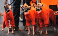 Italian Greyhounds arrive in orange fleece coats on the first day of the Crufts dog show in Birmingham, England on March 8.