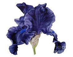 Iris Paintings - Black Iris II  by Marie Burke