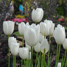 Unter den Spätblühern ist 'Maureen' die beste weiße Tulpe für den Garten. Pflanzzeit ist im Herbst - online bestellbar bei www.fluwel.de