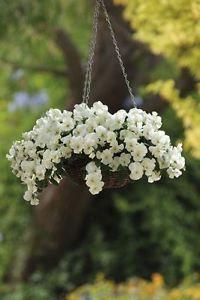 Fiore-Viola-del-pensiero-Cool-Wave-bianca-F1-10-semi