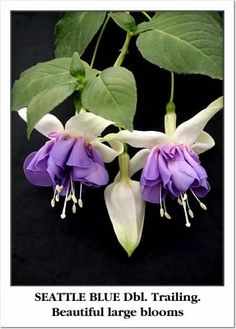 SEATTLE BLUE:    Large double trailing. Sepals white. Corolla violet-blue. Makes a large beautiful basket