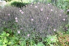 Geranium maderense Auckland New Zealand