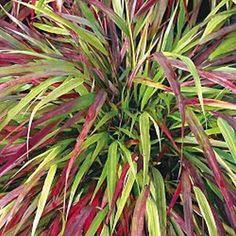 Abondant feuillage gracieux et vert durant l'été qui se colore de rouge durant l'automne. Forme un beau couvre-sol pour le sous-bois.