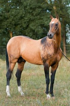 Beautiful dun Akhal Teke stallion (bay + dun). Notice the dun traits: a dorsal stripe, shading over the withers, and shading over part of the face.