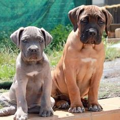 Always the big sister take care of the small one. Blue Cane Corso Puppies, Cane Corso Italiano, Photo S, Pitbulls, Big, Animals, Animales, Animaux, Pitt Bulls