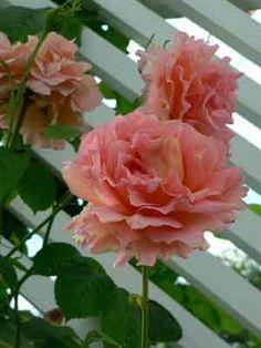 climbing polka rose