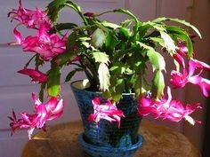 Keeping Your Pets Safe: 10 Non-Toxic House Plants Christmas Cactus Christmas Cactus Care, Christmas Plants, Christmas Ideas, Toxic Plants For Cats, Cat Safe Plants, Cactus Flower, Cactus Plants, Cactus Cat, Common House Plants
