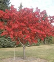Maple, Ginnala / Amur Maple | Pinelane Nursery Smaller maple with excellent fall color. Available in tree form or multi stem. Tree form tends to grow a little slower.