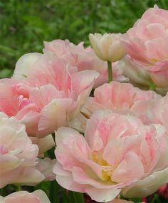 Tulip Angelique - Peony Flowering Tulips - Tulips - Fall 2014 Flower Bulbs