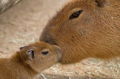 Mommy capybara kiss her baby!!!..Water is a source of life for the capybara, as the animal eats water plants and grasses and uses the water itself to escape from danger. In fact, a capybara can stay underwater for up to five minutes at a time to hide from predators. It uses those webbed feet (four toes on each front foot and three on each back one) to swim as well as walk...