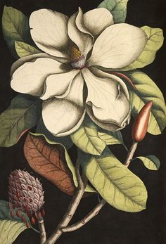 Magnolia by Georg Dionysius Ehret. From The Natural History of Carolina, Florida, and the Bahama Islands, by Mark Catesby, 1771, vol. 2. Hand-coloured engraving