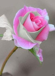 Luminous pink and mint green petals