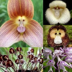 """Flowers Imitating Monkeys -- The orchids above with the little monkey faces are Dracula simia, which translates to Little Dragon Monkey. The flowers are fragrant with the scent of a ripe orange...native to the cloud forests of southeast Ecuador, & as such not many people throughout history have seen them. The flowers above that look like little dancing monkeys are called Orchis simia...found in Europe, the Mediterranean, Russia, Asia Minor & Iran...[&] smell strongly of feces."""