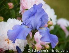 This deep wisteria blue self is well known for its consistent reblooming habit even in the colder climates. As another bonus, Sugar Blues has a pronounced sweet fragrance. The...