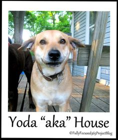 Fully Focused: 365 Project: Day 167: Yoda Dog Just add a robe and a lightsaber. #Dogs #Photography #365Projects