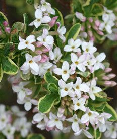 The Reason Why Everyone Love Daphne Flower Meaning In Hindi Daphne Flower Meaning In Hindi In 2020 Daphne Flower Flower Meanings Daphne Plant