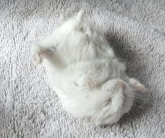 White hamster napping on white towel .·:*¨¨*:·.Blanc.·:*¨¨*:·.