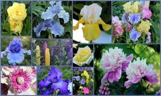 Tall bearded iris: SKYWALKER, TULIP FESTIVAL, EDITH WOLFORD, HONKY TONK BLUES, OUT OF THE BLUES, with Itoh peony, herbaceous peony, lupine, hybrid tea rose, clematis, pansies, petunia