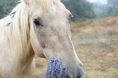 "Horses & Lavender - Guest retired horse at Foxenbee Lavender Farm, ""Choya"", age 24"