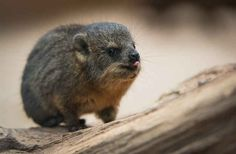 Hope you enjoy your new life baby hyraxes! | These Guinea Pig Look-Alikes Are Related To Elephants And They Are Adorable