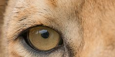End Lion Farming in South Africa